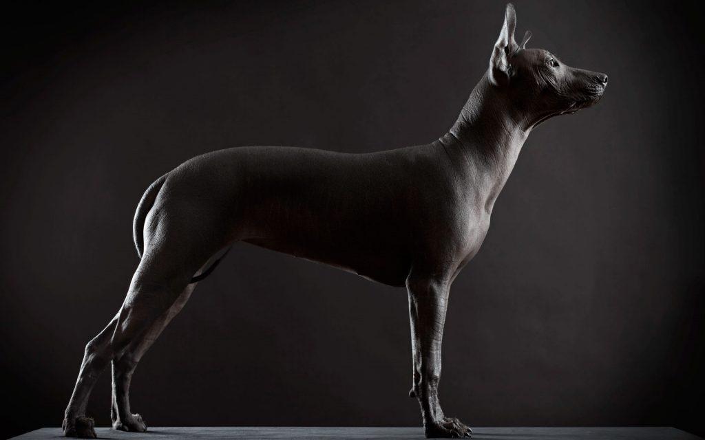 ElXoloitzcuintle, el perro azteca Mexicano.